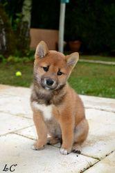 Jinko, chien Shiba Inu