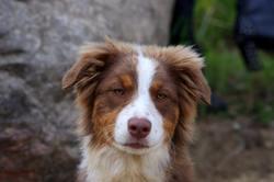 Jinnie, chien Berger australien