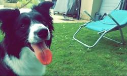 Jinny, chien Border Collie