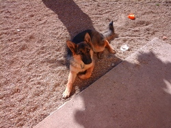 Jinny, chien Berger allemand