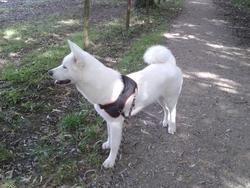 Jinsei, chien Akita Inu