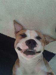 Jintsee, chien Staffordshire Bull Terrier