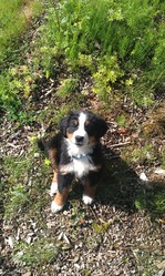 Jinx, chien Bouvier bernois