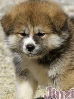 Jinzi, chien Akita Inu