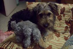 Jippie, chien Yorkshire Terrier