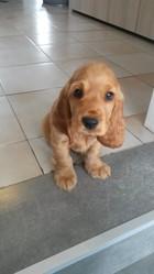 Jipsi, chien Cocker anglais
