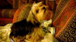 Jipsie, chien Yorkshire Terrier