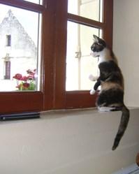 Jipsie, chat Européen