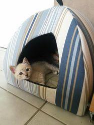 Jipsy, chat Siamois