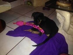Jipsy, chien Beauceron