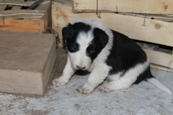 Jipsy, chien Border Collie