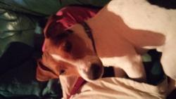 Jipsy, chien Jack Russell Terrier