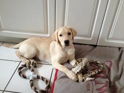 Jipsy, chien Labrador Retriever