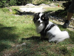 Jipsy, chien Épagneul nain continental