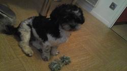 Jipsy, chien Shih Tzu