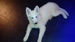 Ora, chien Berger blanc suisse