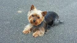 Jipye, chien Yorkshire Terrier