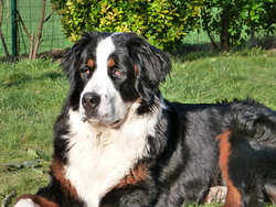 Jiska, chien Bouvier bernois
