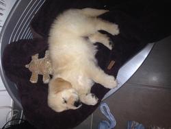 Jiska , chien Golden Retriever
