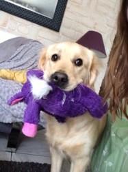 Jiska, chien Golden Retriever