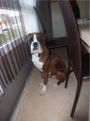 Jito Des Black Du Cagire, chien Boxer