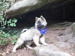 Jitters, chien Eurasier