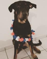 Jive, chien Beauceron