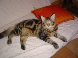 Jiwel, chat Maine Coon