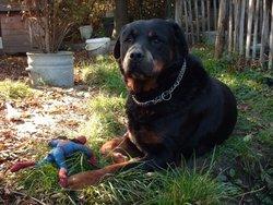 Jo  Décédé, chien Rottweiler