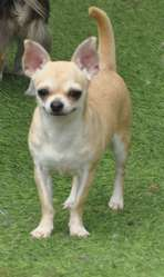 Joan, chien Chihuahua