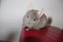 Joce, rongeur Chinchilla