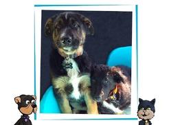 Jock, chien Beauceron