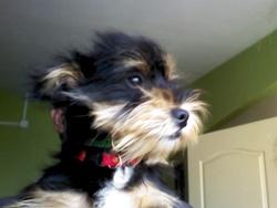 Jocker, chien Yorkshire Terrier