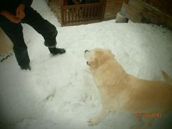 Jocker, chien Labrador Retriever