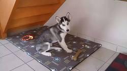 Jocker, chien Husky sibérien