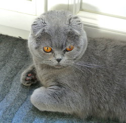 Jodie, chat Scottish Fold