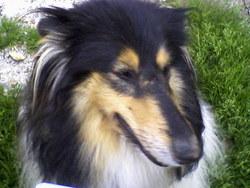 Jodie, chien Colley à poil long