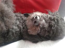 Jodie, chien Caniche