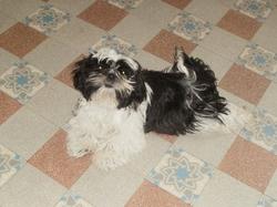 Jody , chien Shih Tzu