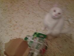 Jody, chat Siamois