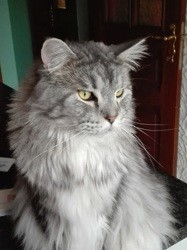 Jody, chat Maine Coon