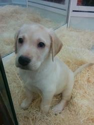 Jody, chien Labrador Retriever