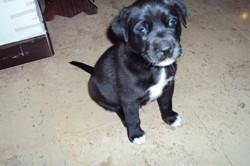 Joe, chien Teckel