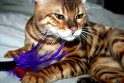 Joe, chat Bengal