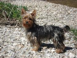 Joe, chien Yorkshire Terrier
