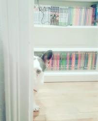 Joe, chien Bouledogue français