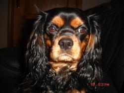 Kenzo, chien Cavalier King Charles Spaniel