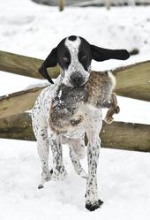 Joesi Di Margherita, chien Braque d'Auvergne