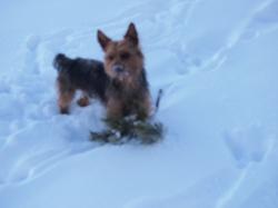 Joey, chien Yorkshire Terrier
