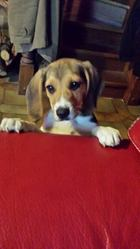 Joey, chien Beagle